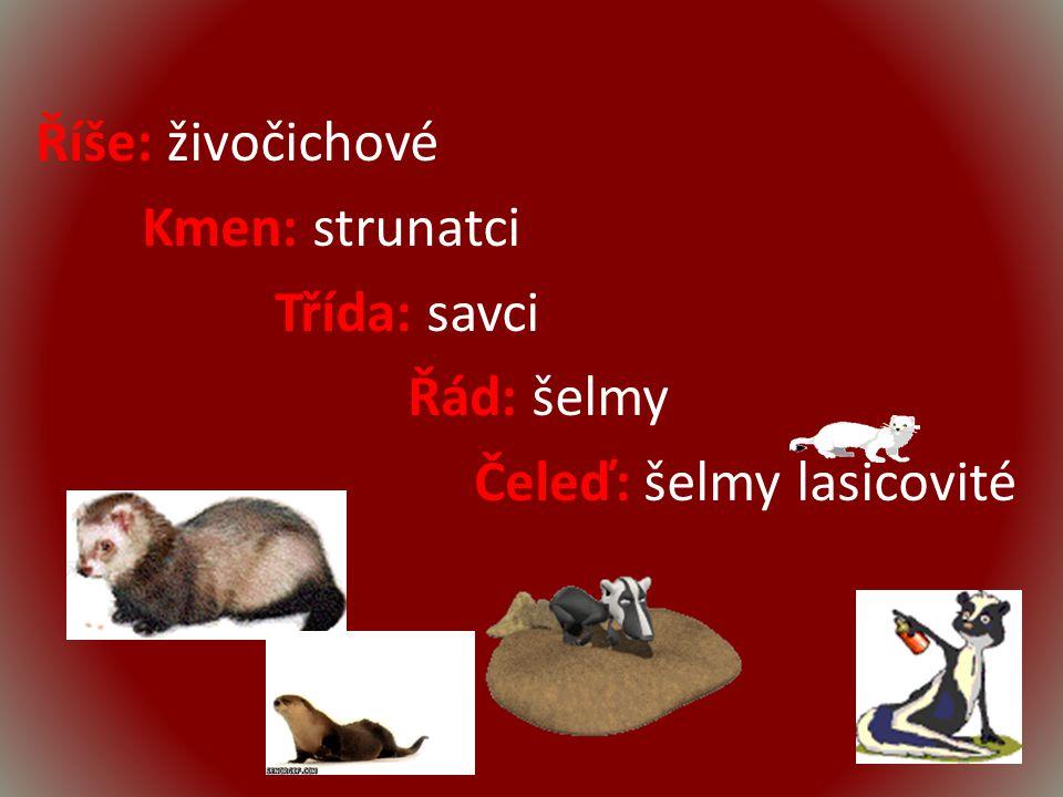 Říše: živočichové Kmen: strunatci Třída: savci Řád: šelmy Čeleď: šelmy lasicovité