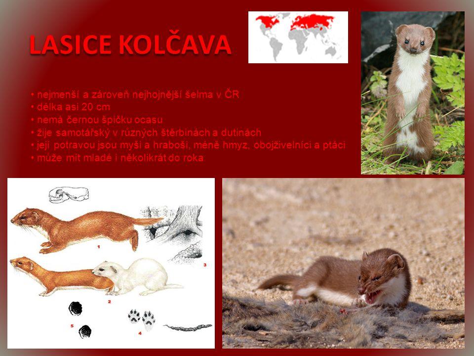 LASICE KOLČAVA • nejmenší a zároveň nejhojnější šelma v ČR