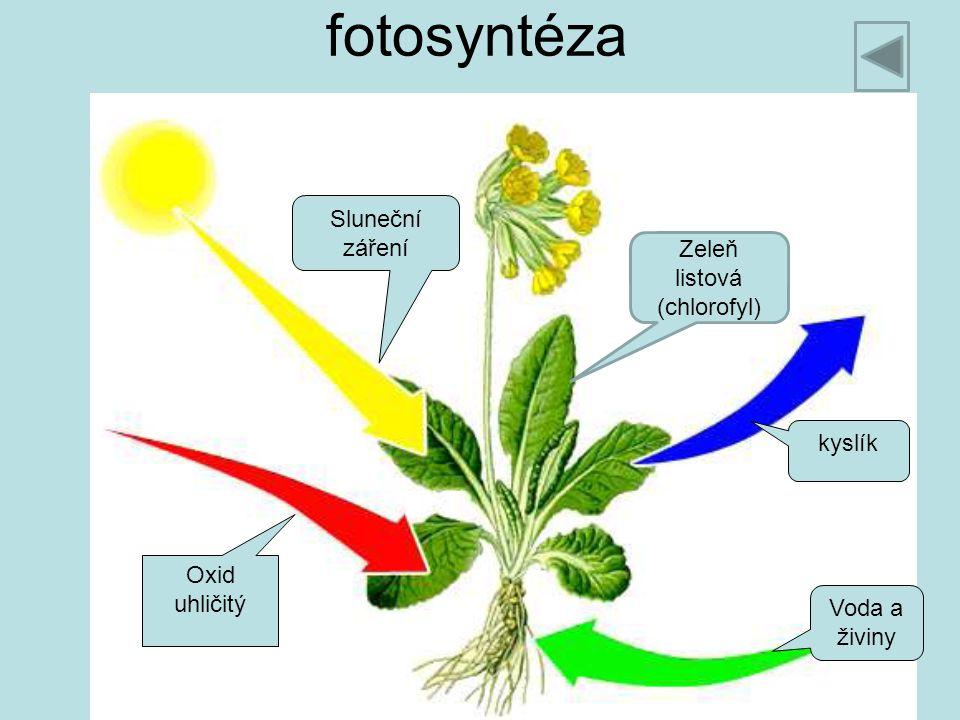 Zeleň listová (chlorofyl)