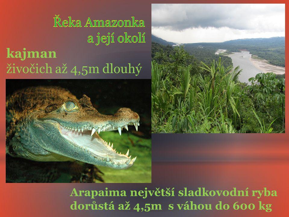 Řeka Amazonka a její okolí kajman živočich až 4,5m dlouhý