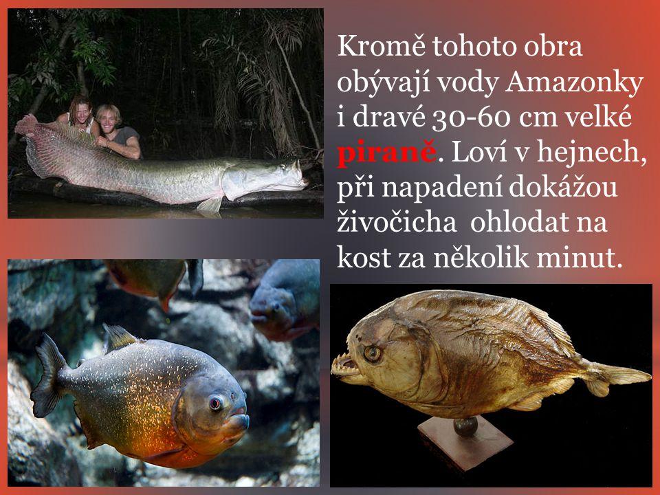 Kromě tohoto obra obývají vody Amazonky i dravé 30-60 cm velké piraně