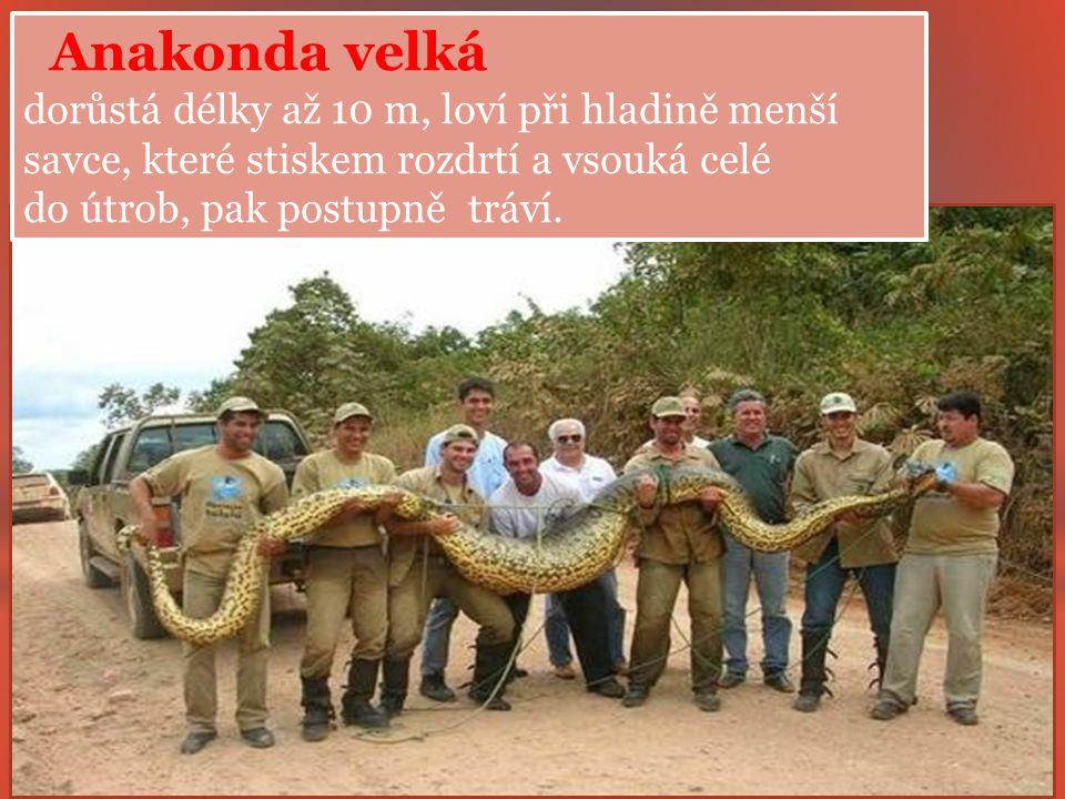 Anakonda velká dorůstá délky až 10 m, loví při hladině menší