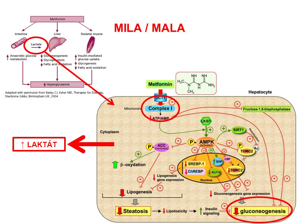 MILA / MALA ↑ LAKTÁT MALA vs. MILA Incidence Mechanizmus