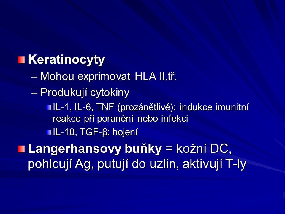 Keratinocyty Mohou exprimovat HLA II.tř. Produkují cytokiny. IL-1, IL-6, TNF (prozánětlivé): indukce imunitní reakce při poranění nebo infekci.
