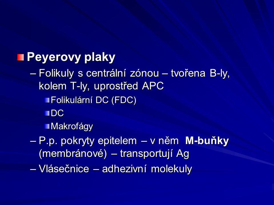 Peyerovy plaky Folikuly s centrální zónou – tvořena B-ly, kolem T-ly, uprostřed APC. Folikulární DC (FDC)