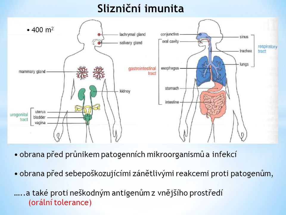 Slizniční imunita • 400 m2. • obrana před průnikem patogenních mikroorganismů a infekcí.