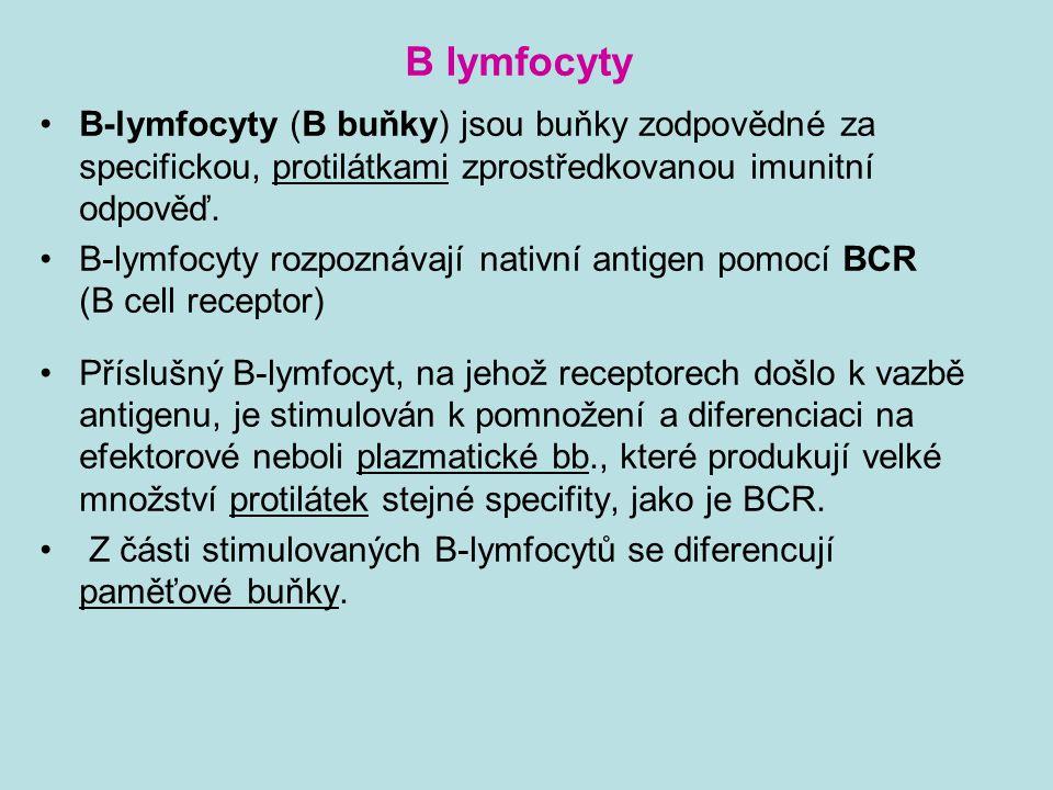 B lymfocyty B-lymfocyty (B buňky) jsou buňky zodpovědné za specifickou, protilátkami zprostředkovanou imunitní odpověď.