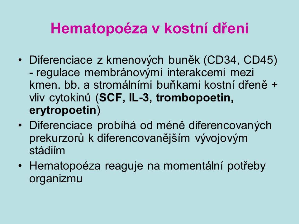 Hematopoéza v kostní dřeni