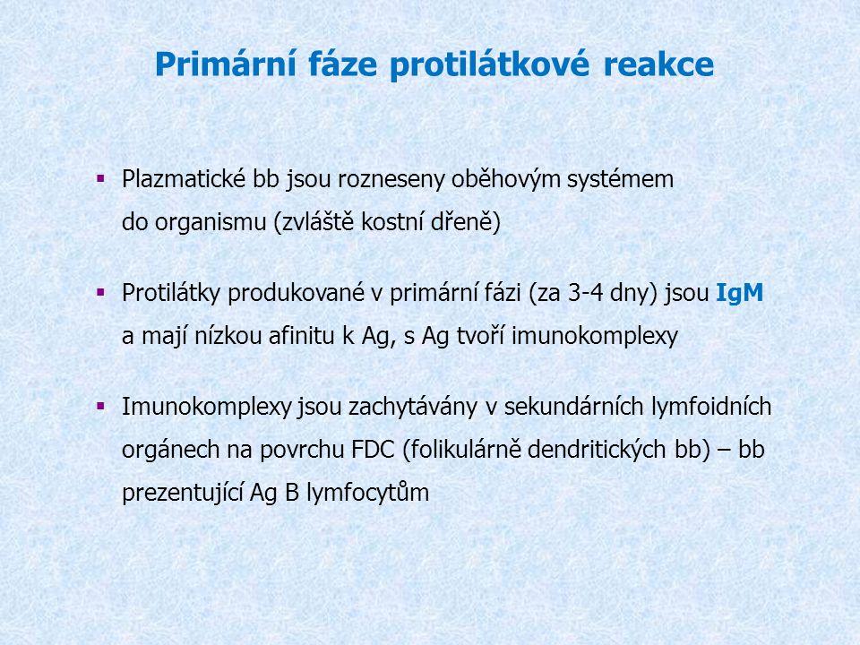 Primární fáze protilátkové reakce