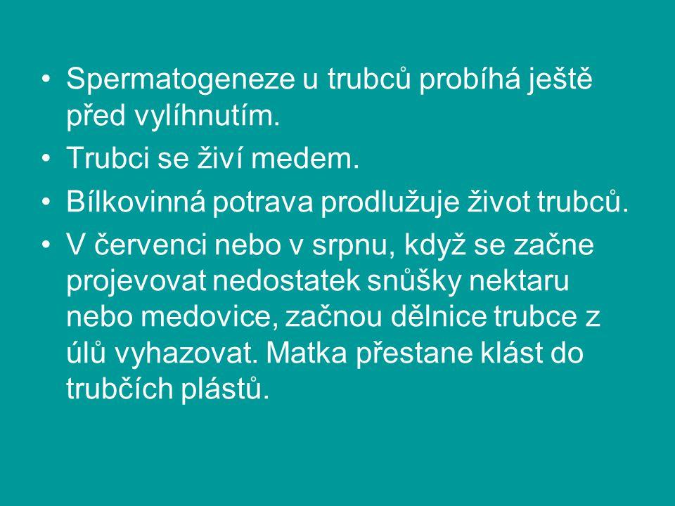 Spermatogeneze u trubců probíhá ještě před vylíhnutím.