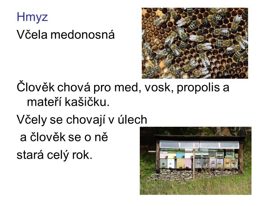 Hmyz Včela medonosná. Člověk chová pro med, vosk, propolis a mateří kašičku. Včely se chovají v úlech.