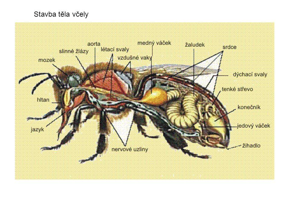 Stavba těla včely