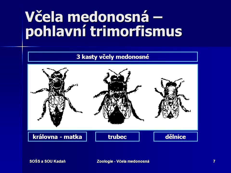 Včela medonosná – pohlavní trimorfismus