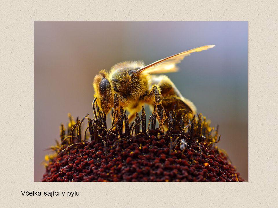 Včelka sající v pylu