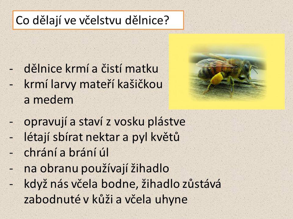 Co dělají ve včelstvu dělnice