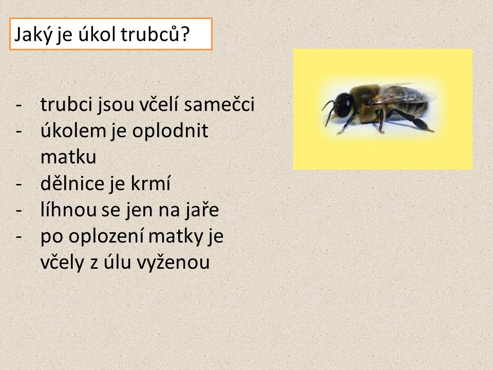 Jaký je úkol trubců trubci jsou včelí samečci. úkolem je oplodnit matku. dělnice je krmí. líhnou se jen na jaře.