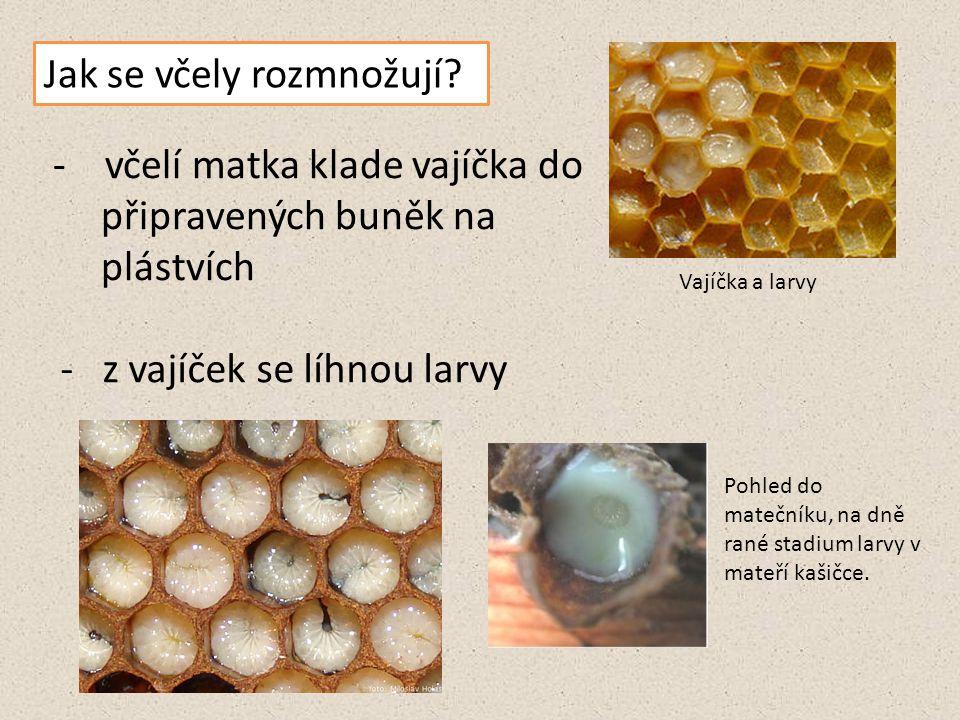 Jak se včely rozmnožují