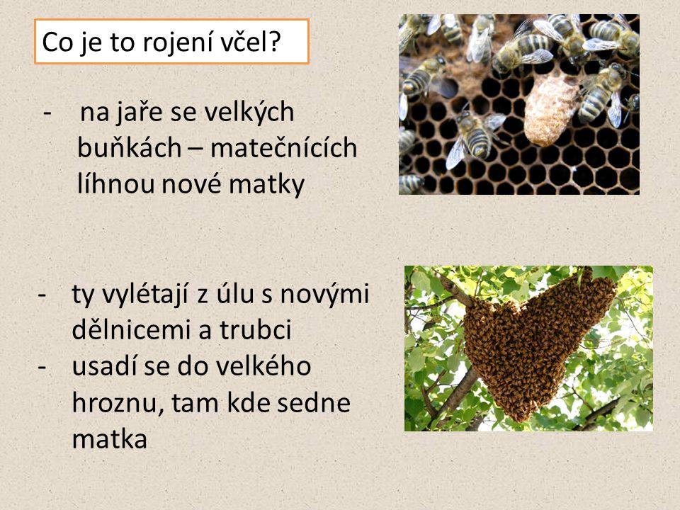 Co je to rojení včel - na jaře se velkých buňkách – matečnících líhnou nové matky. ty vylétají z úlu s novými dělnicemi a trubci.