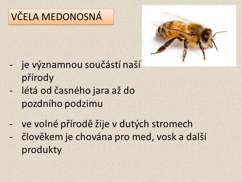 VČELA MEDONOSNÁ je významnou součástí naší přírody. létá od časného jara až do pozdního podzimu. ve volné přírodě žije v dutých stromech.