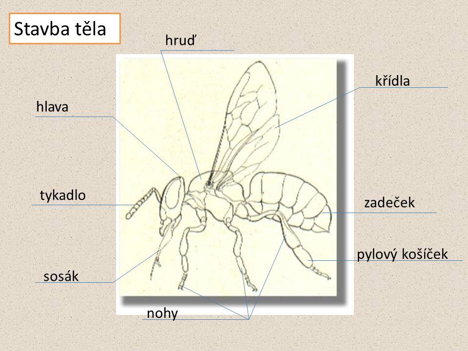Stavba těla hruď křídla hlava tykadlo zadeček pylový košíček sosák