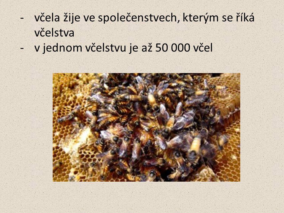 včela žije ve společenstvech, kterým se říká včelstva