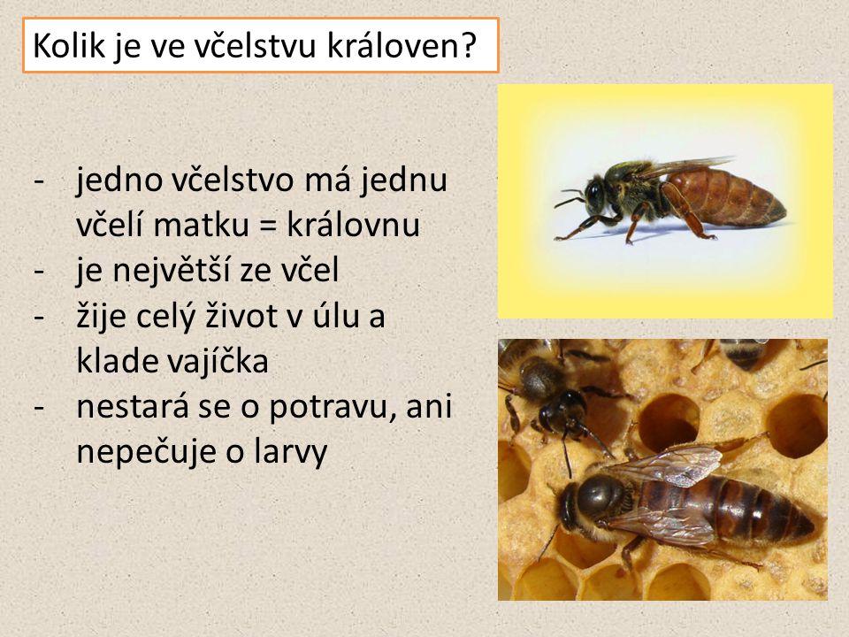 Kolik je ve včelstvu královen