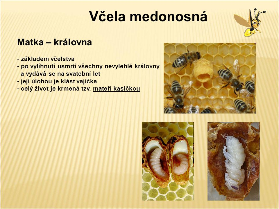 Včela medonosná Matka – královna základem včelstva