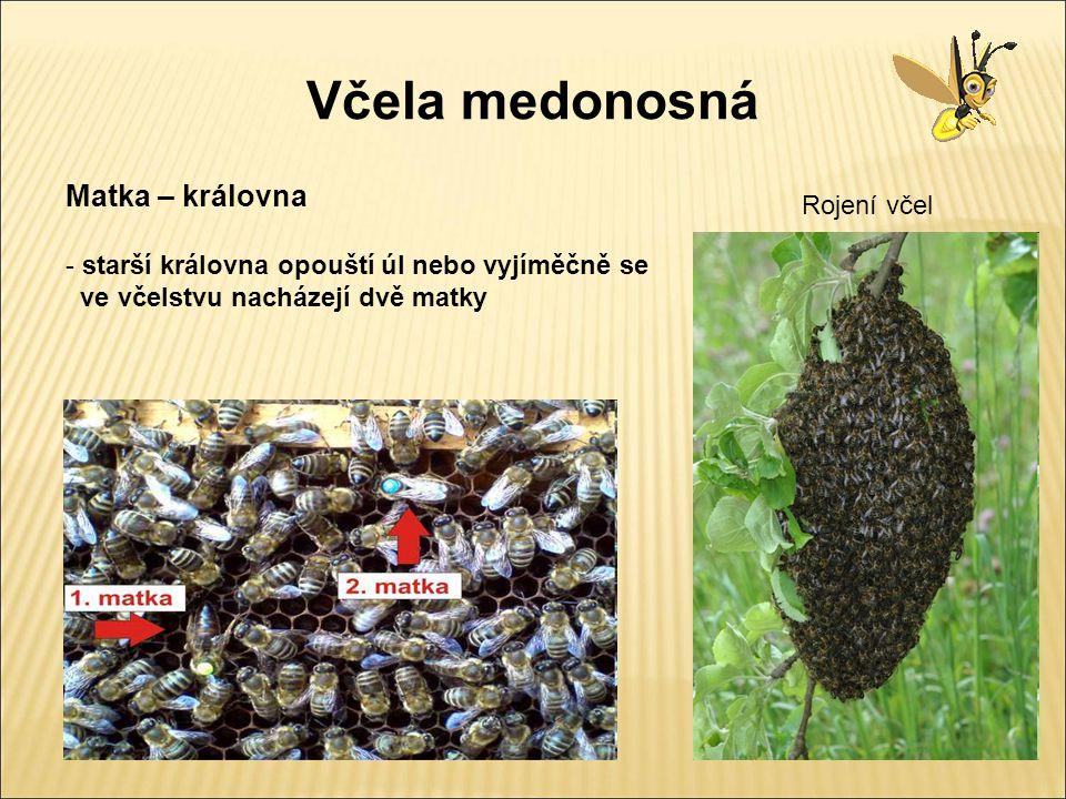 Včela medonosná Matka – královna Rojení včel