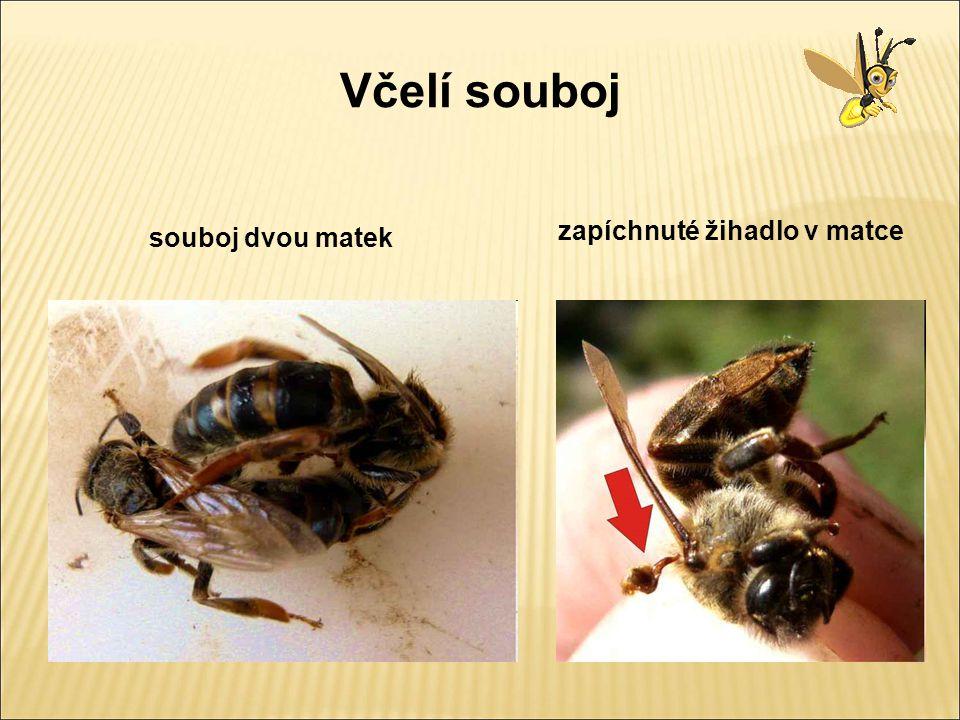 Včelí souboj zapíchnuté žihadlo v matce souboj dvou matek