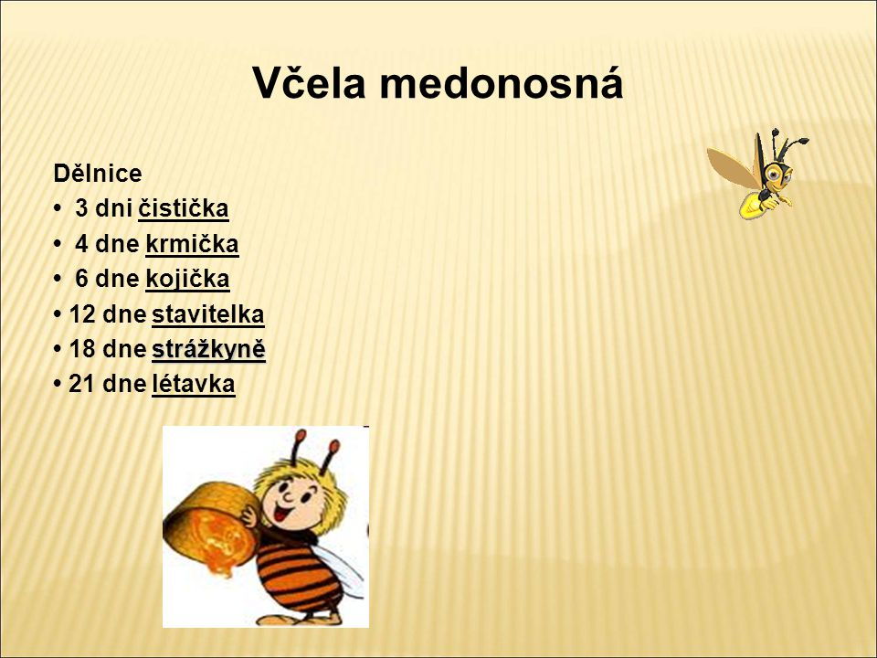 Včela medonosná Dělnice • 3 dni čistička • 4 dne krmička