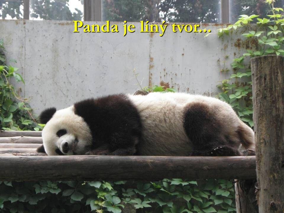Panda je líný tvor...