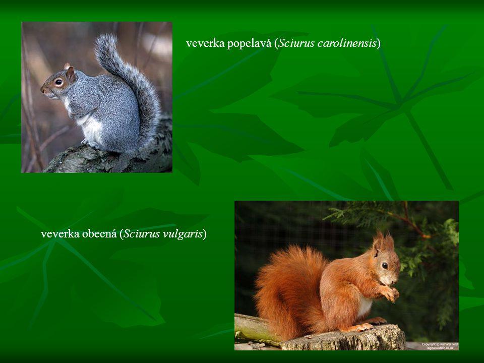 veverka popelavá (Sciurus carolinensis)
