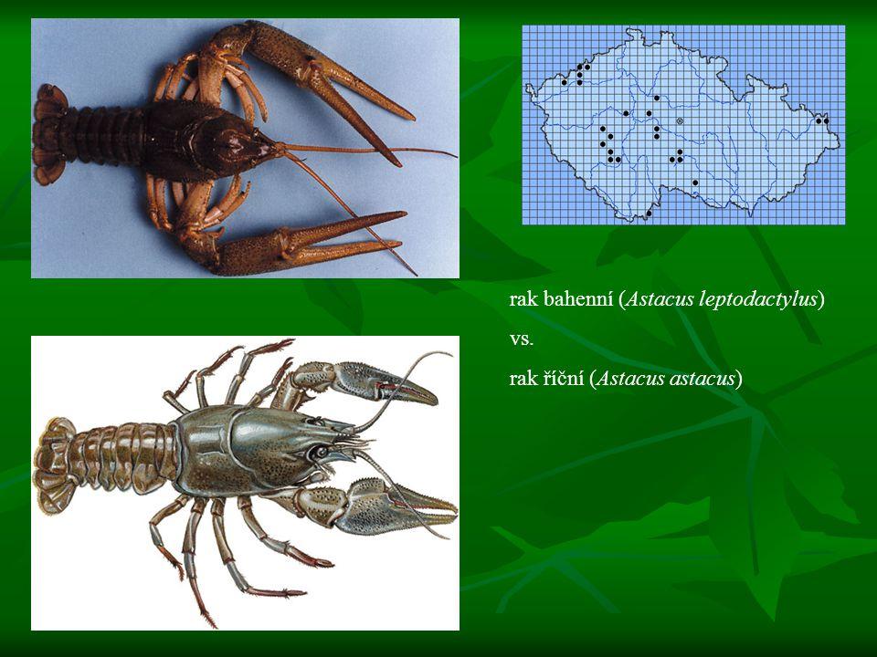 rak bahenní (Astacus leptodactylus)