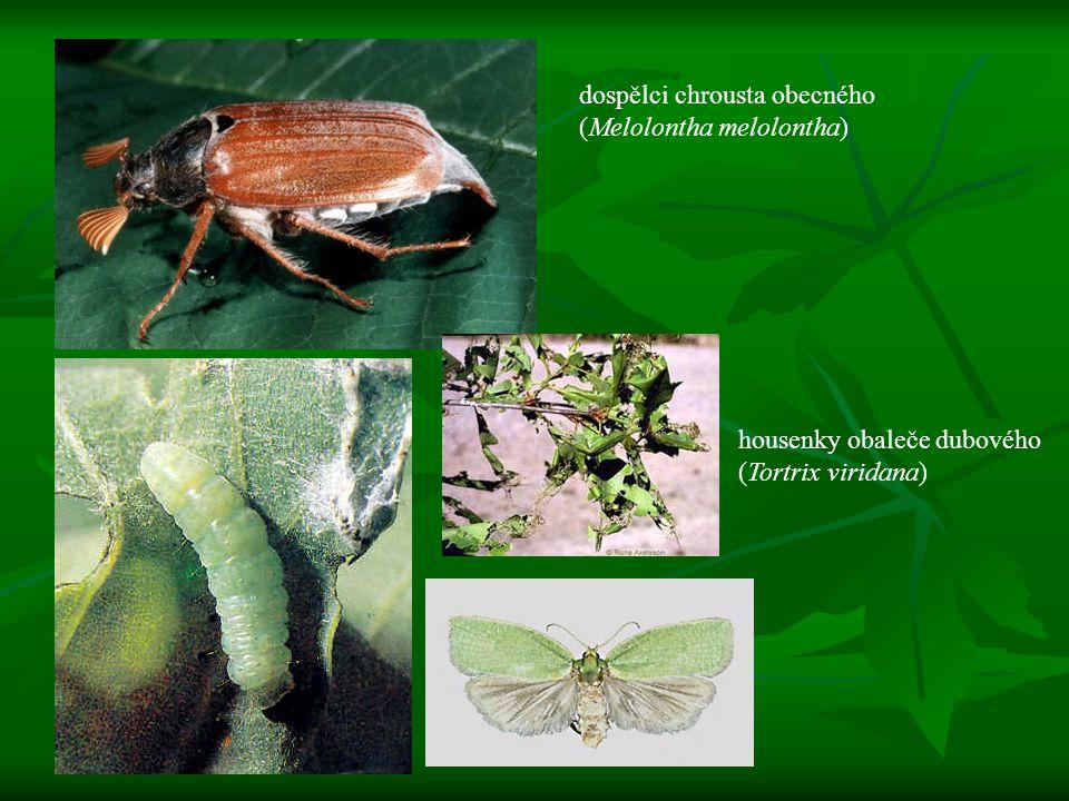 dospělci chrousta obecného (Melolontha melolontha)