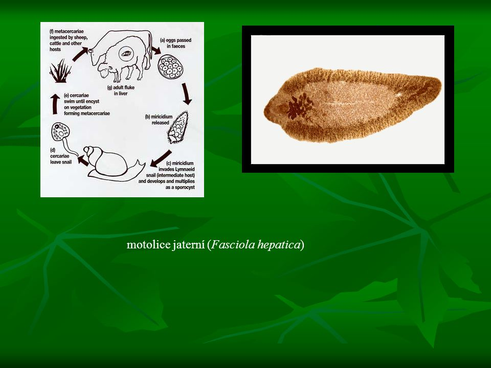 motolice jaterní (Fasciola hepatica)