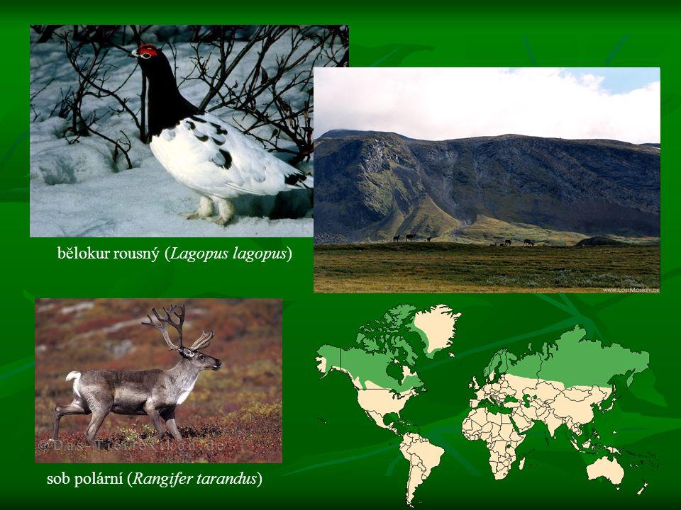 bělokur rousný (Lagopus lagopus)