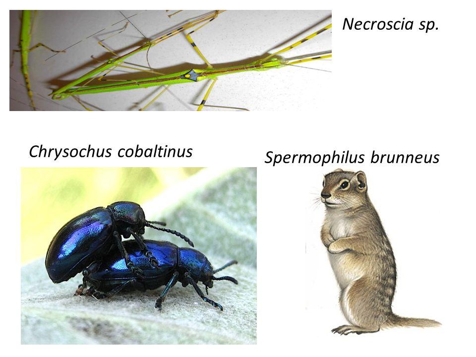 Necroscia sp. Spermophilus brunneus