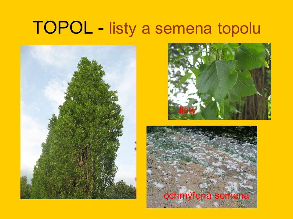 TOPOL - listy a semena topolu