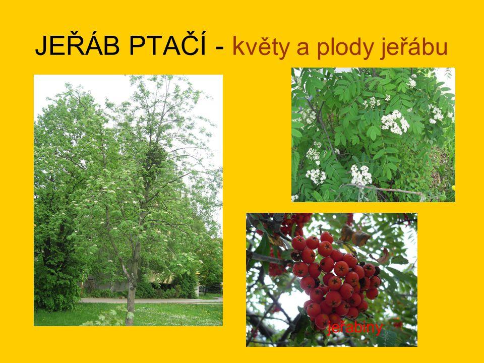 JEŘÁB PTAČÍ - květy a plody jeřábu