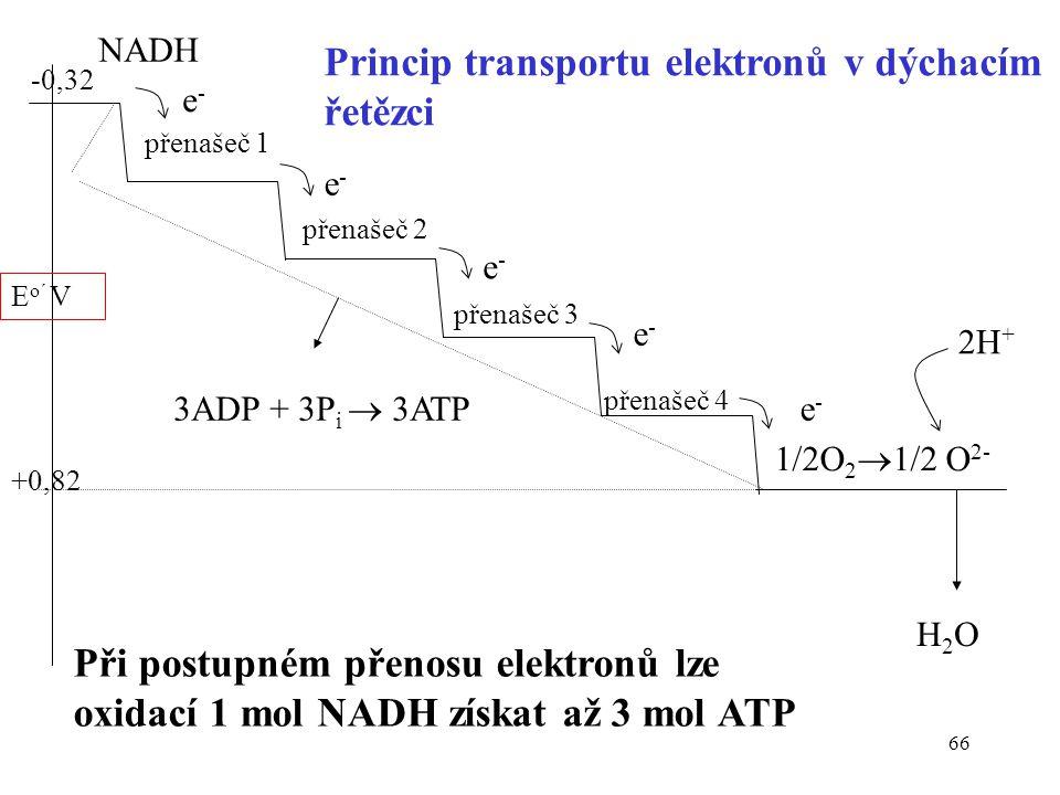 Princip transportu elektronů v dýchacím řetězci