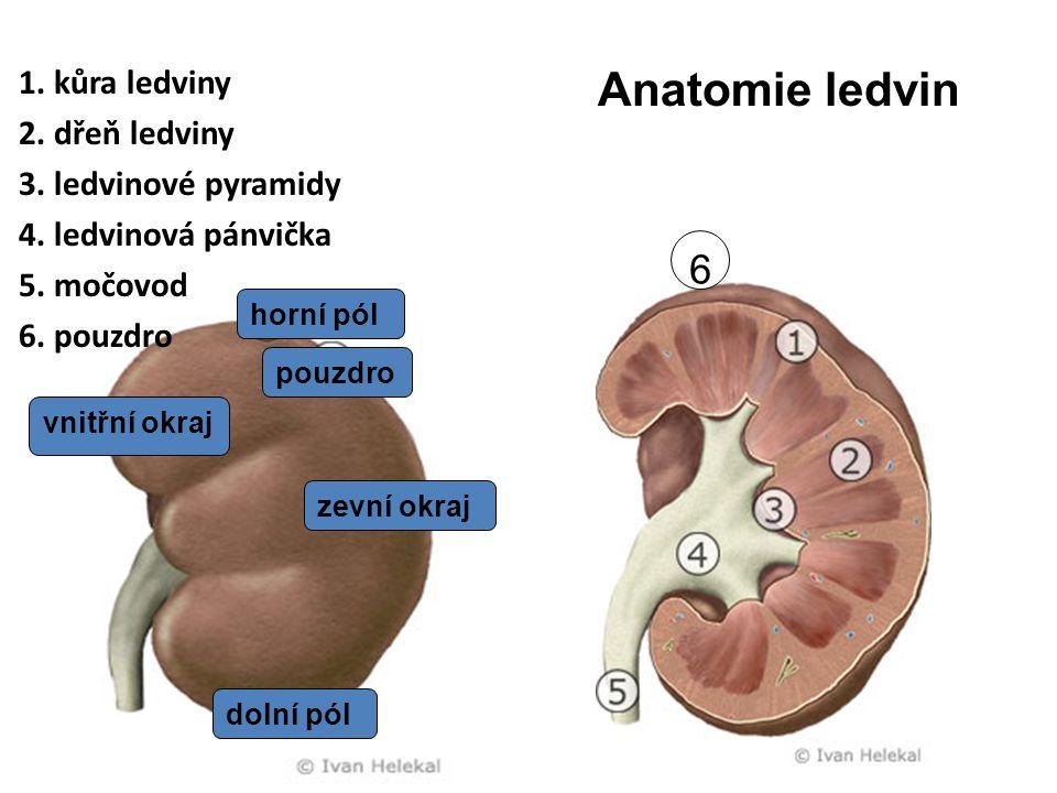 1. kůra ledviny 2. dřeň ledviny 3. ledvinové pyramidy 4