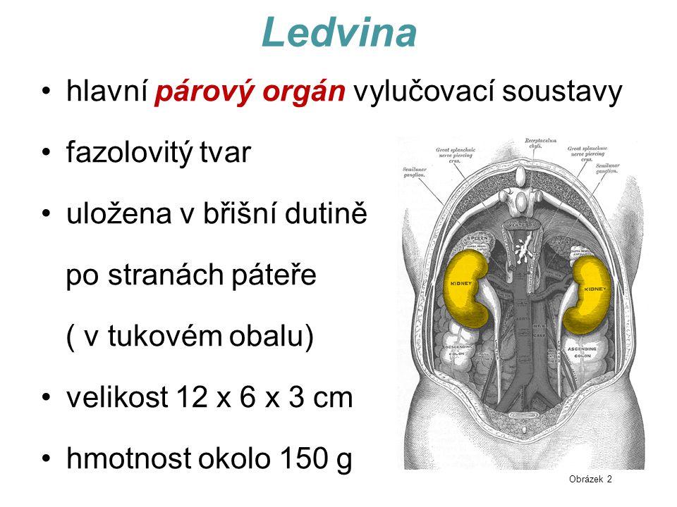 Ledvina hlavní párový orgán vylučovací soustavy fazolovitý tvar