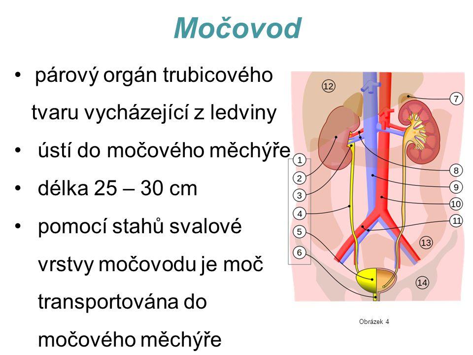 Močovod párový orgán trubicového tvaru vycházející z ledviny