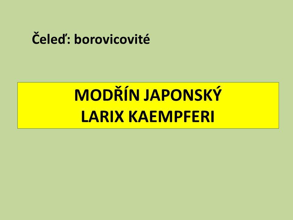 MODŘÍN JAPONSKÝ LARIX KAEMPFERI