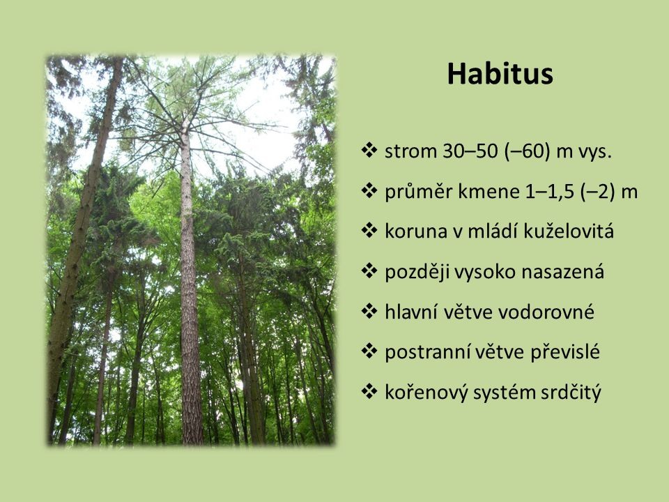Habitus strom 30–50 (–60) m vys. průměr kmene 1–1,5 (–2) m