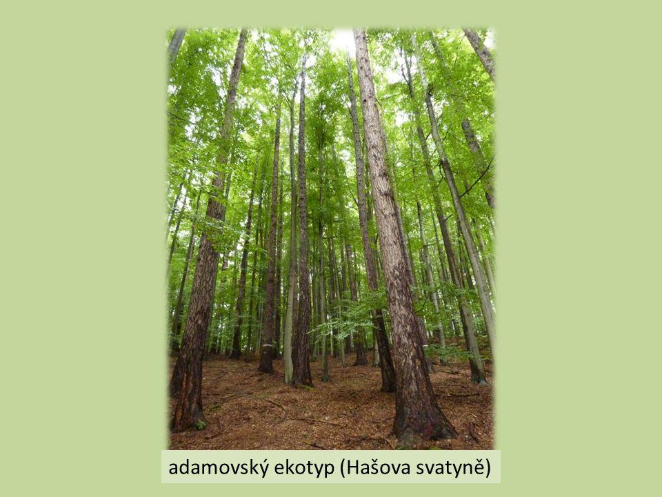 adamovský ekotyp (Hašova svatyně)