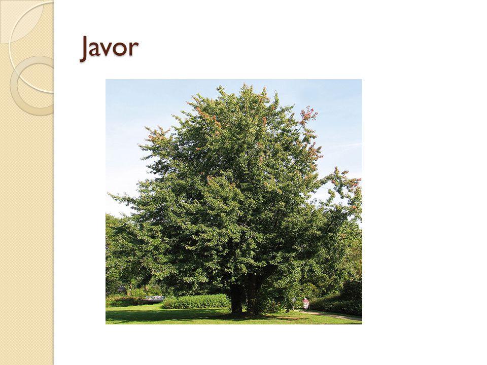 Javor