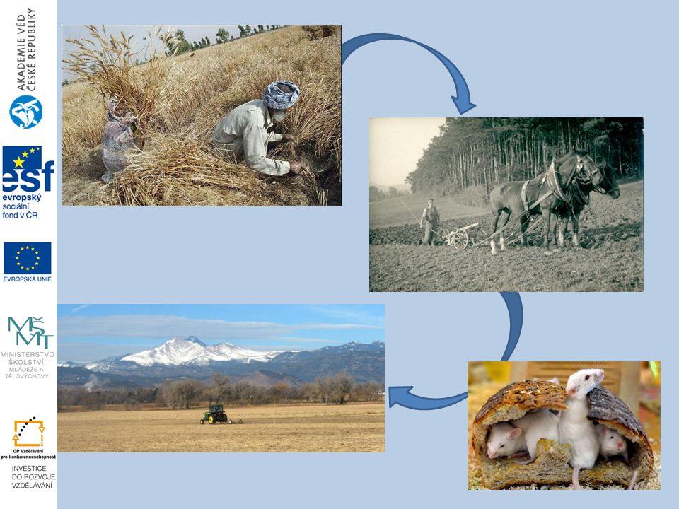 Postupně, s rozvojem zemědělství, se myši z volně žijících tvorů měnily na zvířata synantropní, tj. vázaná na člověka. Ve chvíli, kdy si člověk začal dělat zásoby plodin a shromažďovat je na jednom místě, myš zjistila, že jí bude lépe v dobře zásobené sýpce. Jak se posléze zemědělství šířilo z oblasti Mezopotámie, myši člověka následovaly na jeho cestě. Pro zajímavost, v oblasti středomoří a na Balkáně se vyskytují druhy myši , které nejsou vázáné na člověka a vyskytují se ve volné přírodě (Mus sprettus, Mus macedonicus, Mus spicilegus).