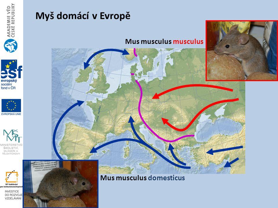Myš domácí v Evropě Mus musculus musculus Mus musculus domesticus