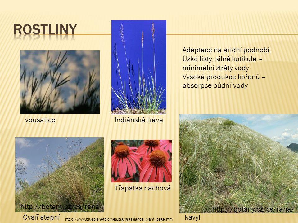 rostliny Adaptace na aridní podnebí: